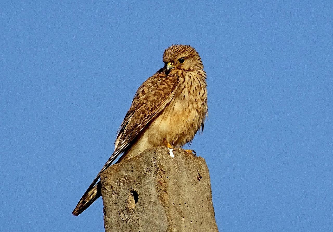 Cernícalo (Falco tinnunculus)