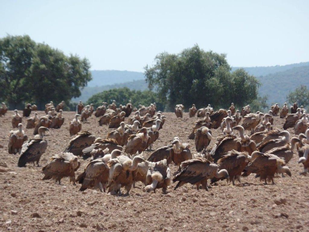Buitres en el Cerro del Madroñal.