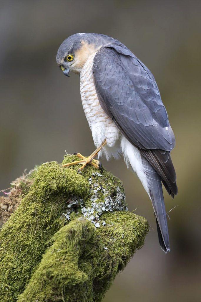 Gavilán común (Accipiter nisus)